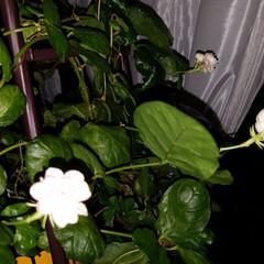 花/夜バージョン/テラス/ジャスミン/jasmine/はな/... 私の梅雨時のアイテムと言えば💠~☝ テラ…(2枚目)