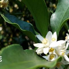 プルーン/実のなる木/庭/庭木/イチジク/節約/... 無花果、たくさん収穫しました🎵  ほんと…(5枚目)