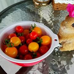 家庭菜園/おうちごはん/フード ミニトマトの収穫
