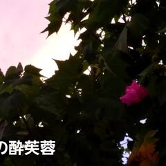 庭木/生活の知恵/夏対策/ガーデニング/花/空/... 酔芙蓉の💠が、ポツリと咲きました😊☝  …