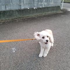 帰りたくない/お散歩/ペット/犬/おでかけ この日のお散歩🐩は、余所へ行きたくて 🐩…