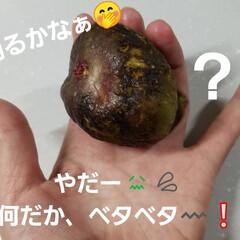 収穫/庭/無花果/フルーツ/採れたて/野菜/... 今日の収穫☝  自宅で採れた物ですよ🤭✨