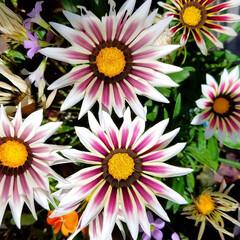 鮮やかカラー/庭/花のある暮らし/はな/ガーデン/暮らし/... 庭が、鮮やかになりました💠🌼🥀🌿(3枚目)