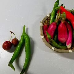 野菜/あまとうがらし/家庭菜園/ガーデン/おうちごはん 今日の収穫✂️🍴少しだけ〰️🎵  二子ち…