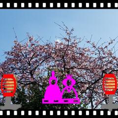 花木/桜/ひな祭り/ピンク/LIMIAFESTA/暮らし/... 🎎をphotoで(*´艸`*)バックは桜…