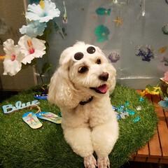 犬のいる暮らし/トリミング/おしゃれ/夏対策/夏ファッション/サングラス/... 🐩あんよの🐾手入れに行ってきたよ~🎵  …