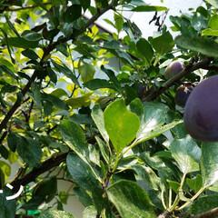 プルーン/実のなる木/庭/庭木/イチジク/節約/... 無花果、たくさん収穫しました🎵  ほんと…(4枚目)