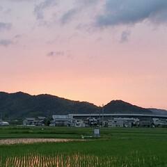夕焼け/散歩道/グリーン/おでかけ 夕焼け色の田んぼ🌆  肉眼で見た方がずつ…