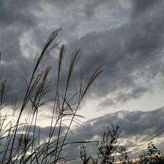 秋の風景/ススキ/秋/おでかけ/散歩/秋の一枚コンテスト 秋の空🌾🌿🍂  久しぶりの二人でお散歩🐩…