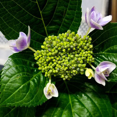紫陽花/わんこのいる暮らし/季節インテリア/梅雨/梅雨対策/玄関あるある/... 玄関のお出迎えの華 庭の紫陽花を玄関に飾…(4枚目)