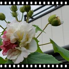 グリーン/育てる/花木/庭木 酔芙蓉です。このお花は、夕方になるにつれ…