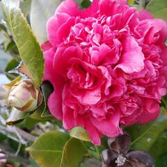 つばき/さざんか/散歩道/お出かけ/ピンク/暮らし 🐩🚶♀️お散歩に出逢った花達🌼Ⅱ  先…(3枚目)