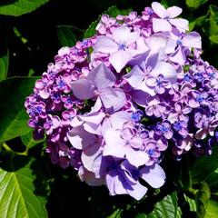 花のある暮らし/庭の花/紫陽花/庭/暮らし 紫陽花✨色々~💠🌼  ①は、よーく見て👀…