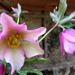 春の花/ガーデン/フォロー大歓迎/風景/住まい/小さい春 『春の花 クリスマスローズ🥀』 クリスマ…