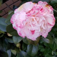 つばき/さざんか/散歩道/お出かけ/ピンク/暮らし 🐩🚶♀️お散歩に出逢った花達🌼Ⅱ  先…(10枚目)