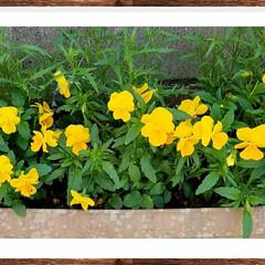 ガーデン/黄色/花/グリーン フリージアの薫りが漂うビオラ  もう終わ…