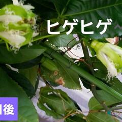 果実/果物の花/フルーツの花/パッションフルーツの実/フルーツ/パッションフルーツの花/... パッションフルーツ☝ 日曜日来るまでに咲…(2枚目)