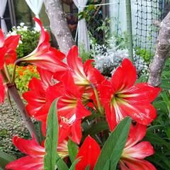 鮮やかカラー/庭/花のある暮らし/はな/ガーデン/暮らし/... 庭が、鮮やかになりました💠🌼🥀🌿(2枚目)
