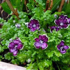 お花/雨上がりの庭/雨あがりの花/フィンガーライムの木/庭の花/庭のある暮らし/... ☔昨日は、大雨と風🍃🌀〰️(>_<)  …(1枚目)