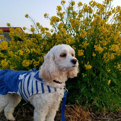菜の花と犬/うちの子ベストショット/春の一枚/散歩道/春と犬/LIMIAペット同好会/... 🌻菜の花と一緒に📸  散歩道に菜の花がい…