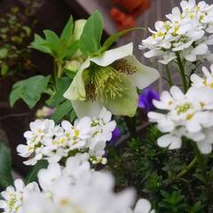 花/にわ/ガーデニング/花のある暮らし/ガーデン雑貨/ガーデニング雑貨/... まだ寒かったりですが、お庭の花達が、あち…(9枚目)