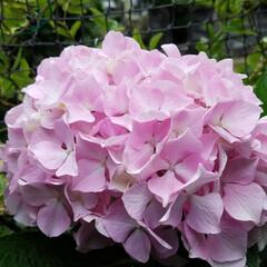 紫陽花/わんこのいる暮らし/季節インテリア/梅雨/梅雨対策/玄関あるある/... 玄関のお出迎えの華 庭の紫陽花を玄関に飾…(2枚目)