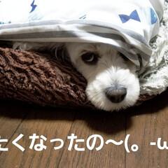 犬のいる暮らし/眠い/潜ってます/わんこのいる暮らし/空/夕日/... 🐩今夜は、肌寒いので潜って寝るよ~🐶☝ …