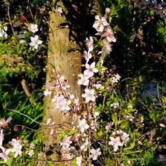 花の生活/庭の花/春の一枚/フォロー大歓迎/風景/花景色/... 庭の花達 Ⅰ  春の花達が、楽しそうに咲…(3枚目)