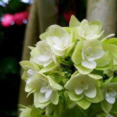 紫陽花/わんこのいる暮らし/季節インテリア/梅雨/梅雨対策/玄関あるある/... 玄関のお出迎えの華 庭の紫陽花を玄関に飾…(3枚目)