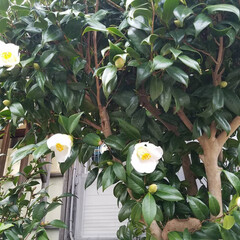 白い椿/花木/花/椿/住まい     椿  友人宅の素敵な椿です💕