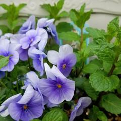 花/にわ/ガーデニング/花のある暮らし/ガーデン雑貨/ガーデニング雑貨/... まだ寒かったりですが、お庭の花達が、あち…(10枚目)