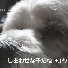 びっくり/みるく/ワンコもベジタリアン/犬のいる暮らし/わんこのいる暮らし/ベジタリアン/... ご近所さんから白菜を頂きました🎵 私、置…(4枚目)