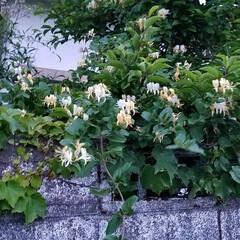 薫り/二色の花/木/グリーン/おでかけ この木 何んの木かなぁ?  空き家になっ…