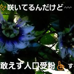 果実/果物の花/フルーツの花/パッションフルーツの実/フルーツ/パッションフルーツの花/... パッションフルーツ☝ 日曜日来るまでに咲…(1枚目)