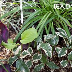和の花/涼しげ/山野草/ガーデン/ガーデニング/庭の花/... photoとは関係ない私事ですが( *´…(4枚目)