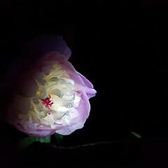 🇬🇧の民話/ソルベット/おでかけワンショット/夜の花達/芍薬/ガーデニング/...  *はにかみやのソルベット*…夜の花達🥀…