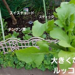 有機種子 固定種 スイスチャード 種 種子 ふだん草 カラフル オーガニック グリーンフィールドプロジェクト 追跡可能選択可(葉菜)を使ったクチコミ「お野菜の好きな私は、ベジタブル🥦🍆🍅🥒は…」