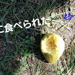 プルーン/実のなる木/庭/庭木/イチジク/節約/... 無花果、たくさん収穫しました🎵  ほんと…(3枚目)