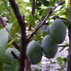 家庭菜園/フルーツ/プルーン/フルーツトマト/実のなる木 育ってます✨。:+((*´艸`))+:。…