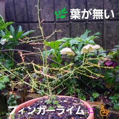 お花/雨上がりの庭/雨あがりの花/フィンガーライムの木/庭の花/庭のある暮らし/... ☔昨日は、大雨と風🍃🌀〰️(>_<)  …(7枚目)