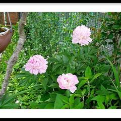 和/花弁/ピンク/ガーデン/花/グリーン 芍薬よーく観ると其々花弁が違います‼  …