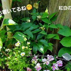 鮮やかカラー/庭/花のある暮らし/はな/ガーデン/暮らし/... 庭が、鮮やかになりました💠🌼🥀🌿(6枚目)
