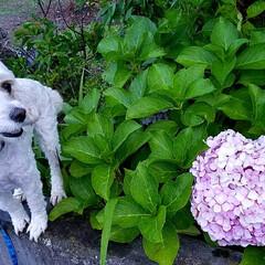 お散歩/紫陽花/ペット/おでかけ お散歩中、大きな紫陽花を見つけました。5…