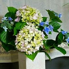 紫陽花/ガーデン/梅雨/ボタニカル/インテリア/住まい 庭の紫陽花を花瓶に…。元気を出してくれま…