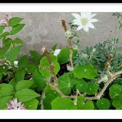 グリーン/ガーデン/庭/花/フランネルフラワー/さくらうつぎ 桜うつぎ(ピンクの花の方)