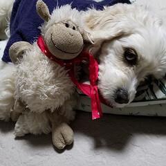 昼寝/うちの子ベストショット/ペット/犬 『眠たいのに…なぁ~に⁉』  🐶お昼寝中…