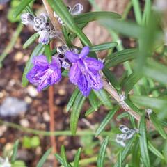 花/にわ/ガーデニング/花のある暮らし/ガーデン雑貨/ガーデニング雑貨/... まだ寒かったりですが、お庭の花達が、あち…(6枚目)