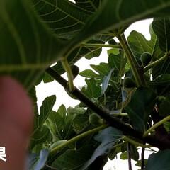 実/庭/畑/実のなってる物/ガーデン/🍘/... 庭の実がなってるものを👀📷✨しました🎵 …(2枚目)