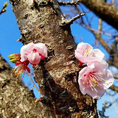 杏の花/春の一枚/フォロー大歓迎 🌳🌸杏の花 毎年ご近所にとっても綺麗な杏…