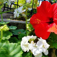 鮮やかカラー/庭/花のある暮らし/はな/ガーデン/暮らし/... 庭が、鮮やかになりました💠🌼🥀🌿(4枚目)
